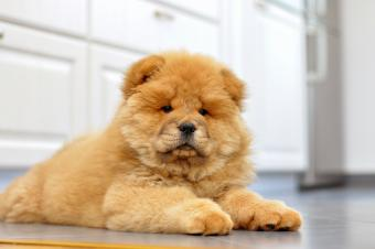 Chow chow puppy in the house
