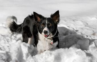 Border Collie waist deep in snow