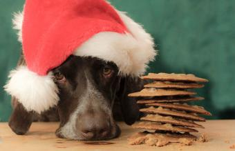 German Shorthaired Pointer sulks next to cookies