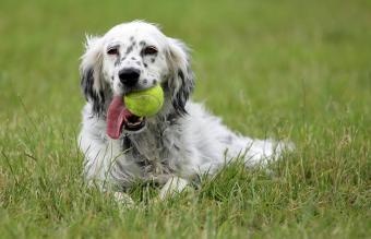 English Setter dog with tennis ball