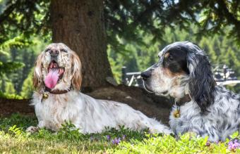Two purebred English setters enjoy the shade