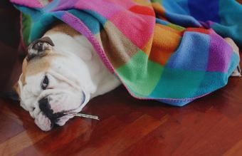 Bulldog with termometer