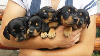 Armload of puppies