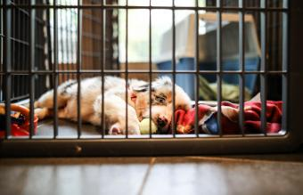 Australian Shepherd Puppy First Day Home