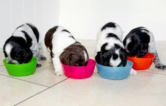 Cute Cocker Spaniel puppies eating