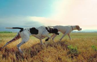 Guide to Sporting Dog Breeds and Characteristics