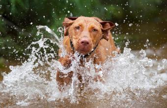 running Vizsla red dog in low water