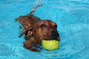 Dog fetching ball in swimming pool
