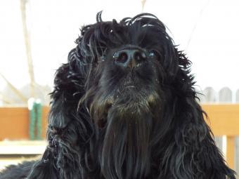 Closeup of black Newfoundland dog face