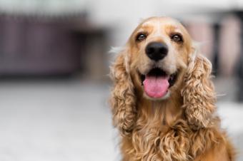 Cocker spaniel dog closeup