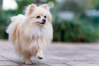 Cream Pomeranian pup outside