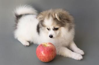 Tricolor Pomeranian puppy with apple