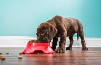 Labrador puppy eating