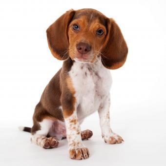 https://cf.ltkcdn.net/dogs/images/slide/248725-850x850-7-mini-beagle-puppy-pictures.jpg