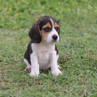 https://cf.ltkcdn.net/dogs/images/slide/248726-850x849-8-mini-beagle-puppy-pictures.jpg
