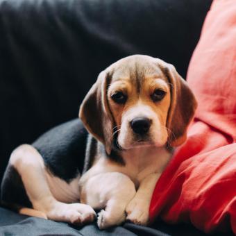 https://cf.ltkcdn.net/dogs/images/slide/248728-850x850-10-mini-beagle-puppy-pictures.jpg