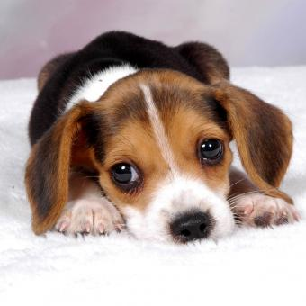 https://cf.ltkcdn.net/dogs/images/slide/248730-850x850-12-mini-beagle-puppy-pictures.jpg