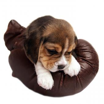 https://cf.ltkcdn.net/dogs/images/slide/248732-850x850-4-mini-beagle-puppy-pictures.jpg