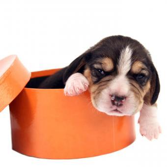 https://cf.ltkcdn.net/dogs/images/slide/248733-850x850-2-mini-beagle-puppy-pictures.jpg