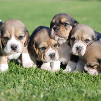 https://cf.ltkcdn.net/dogs/images/slide/248734-850x850-1-mini-beagle-puppy-pictures.jpg