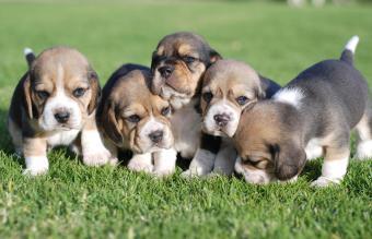 Adorable Mini Beagle Puppy Pictures