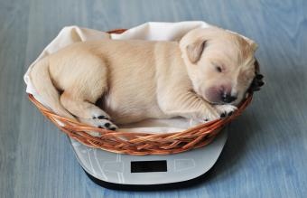 Golden retriever puppy sleeping in little basket