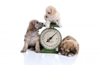 Three puppies posing with an antique scale