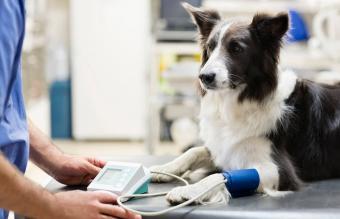 Veterinarian examining dog in vet's surgery