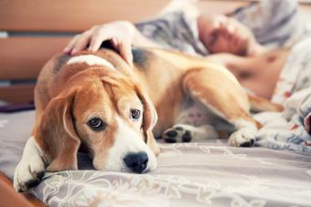 Beagle lying in bed with his sleeping owner