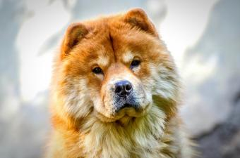 Close-Up Of Brown Chow dog