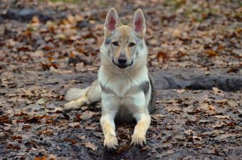 Close-up of wolfdog