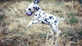 Dalmatian puppy playing with ball