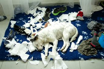 Puppy dog is sleeping after destroying shoes and toilet paper