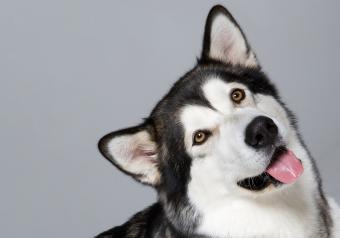 https://cf.ltkcdn.net/dogs/images/slide/250942-850x595-6_Alaskan_Malamute.jpg