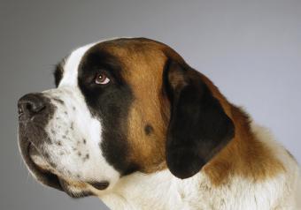 https://cf.ltkcdn.net/dogs/images/slide/250943-850x595-10_St_Bernard.jpg
