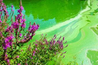 Blue-green algae bloom on pond (cyanobacteria)