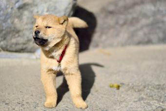 A small puppy playfully barking at the camera