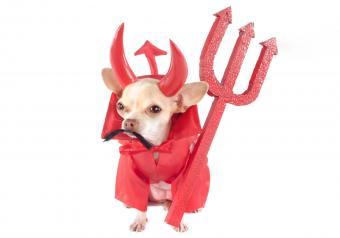 https://cf.ltkcdn.net/dogs/images/slide/252780-850x595-3_Chichuahua_devil_costume.jpg