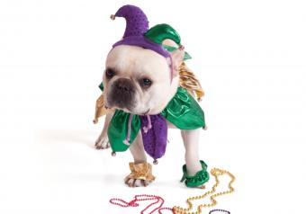 https://cf.ltkcdn.net/dogs/images/slide/252782-850x595-Pug_Jester_Costume.jpg