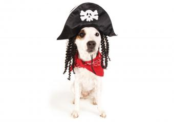 https://cf.ltkcdn.net/dogs/images/slide/252784-850x595-10_Jack_Russell_Pirate.jpg