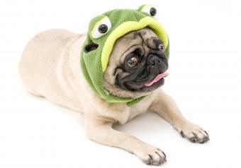 https://cf.ltkcdn.net/dogs/images/slide/252831-850x595-2_Pug_Frog_Costume.jpg