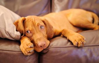 Lazy hungarian vizsla puppy dog