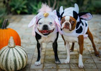 https://cf.ltkcdn.net/dogs/images/slide/252998-850x595-17_Boston_Terriors_Costume.jpg