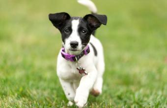 Jack Russell Terrier Traits and Temperament