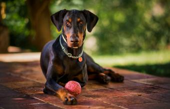 Guide to the Doberman Pinscher Dog Breed