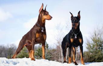 Doberman Pinscher Dogs
