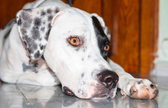 Lying English pointer dog