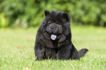 A sitting black Chow Chow puppy