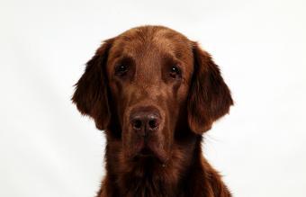 brown flat coated retriever