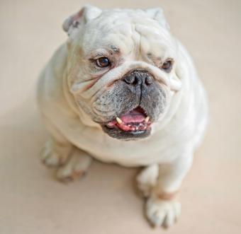 Miniature English Bulldogs: What Makes Them Unique?
